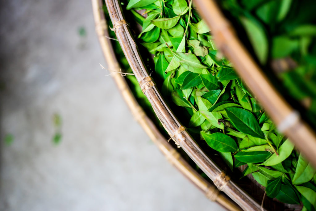 Asia culture concept image - top eye view of fresh organic tea bud & leaves on bamboo basket in Taiwan, the process of tea making